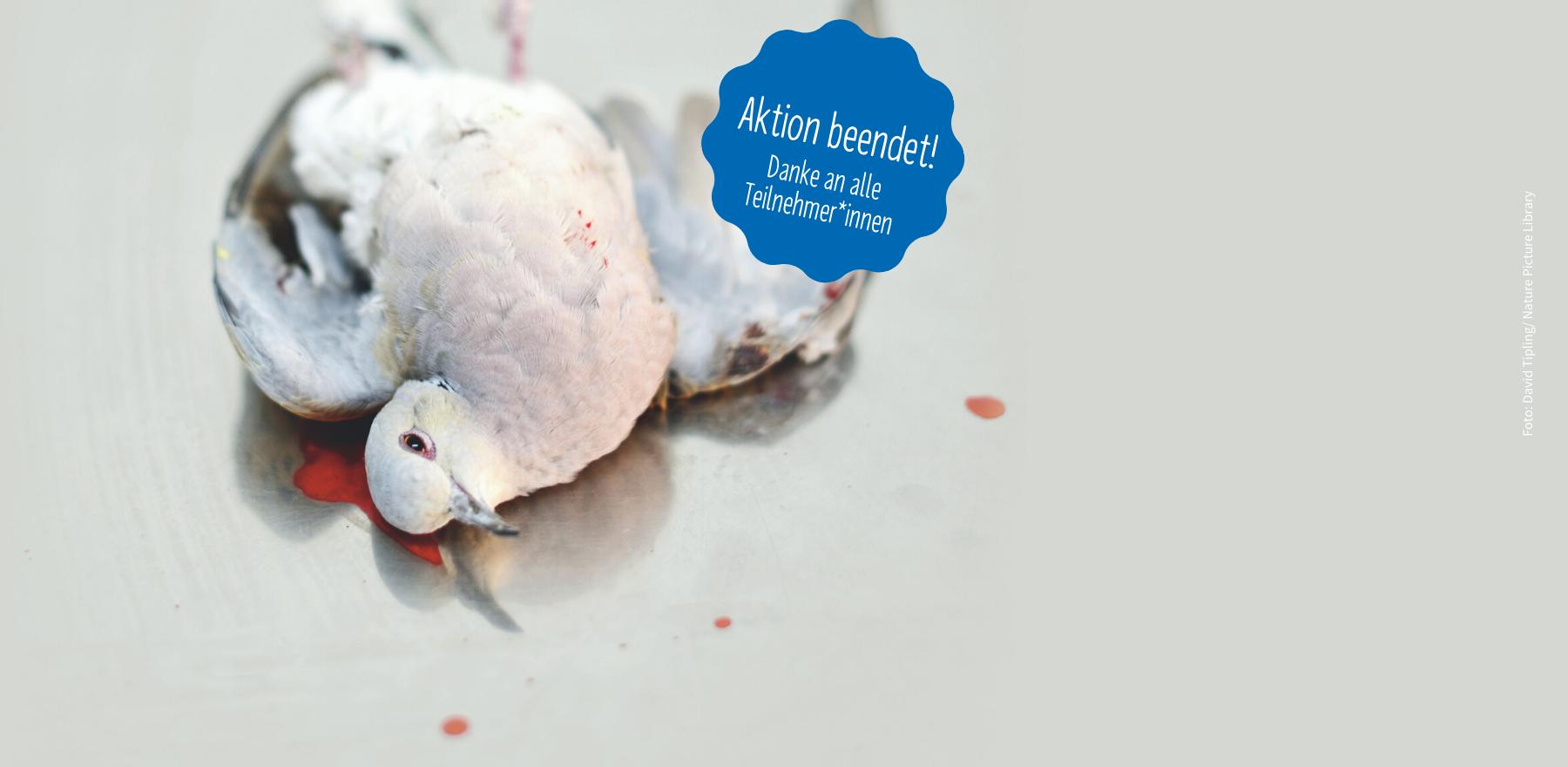 Getötete Turteltaube auf dem Seziertisch