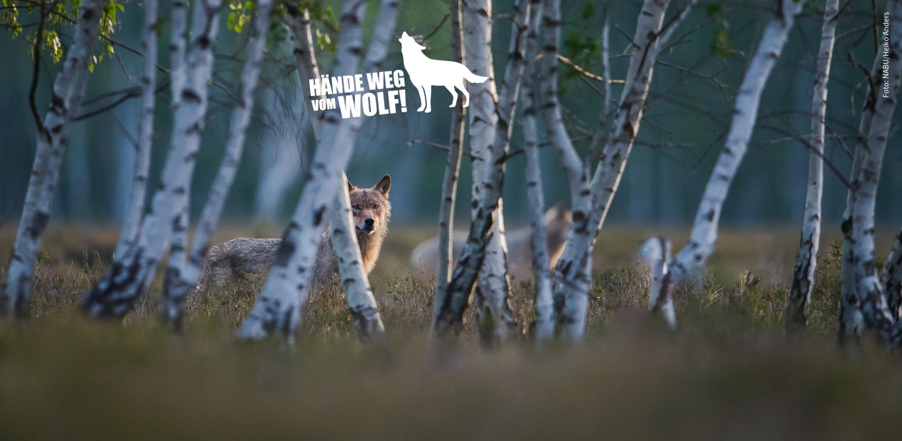 Wolf hinter Birken