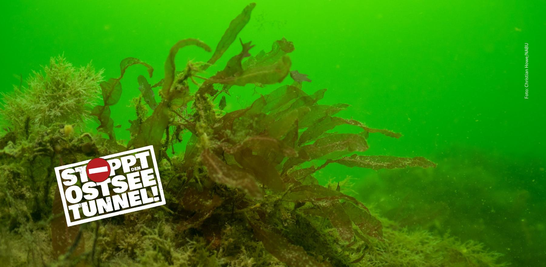 Der Ostseetunnel bedroht artenreiche Riffe und auch den Schweinswal