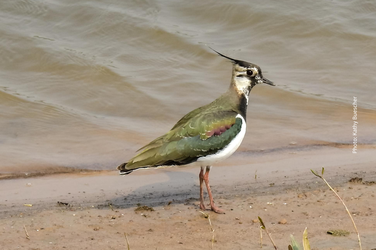 The Lapwing needs our help!