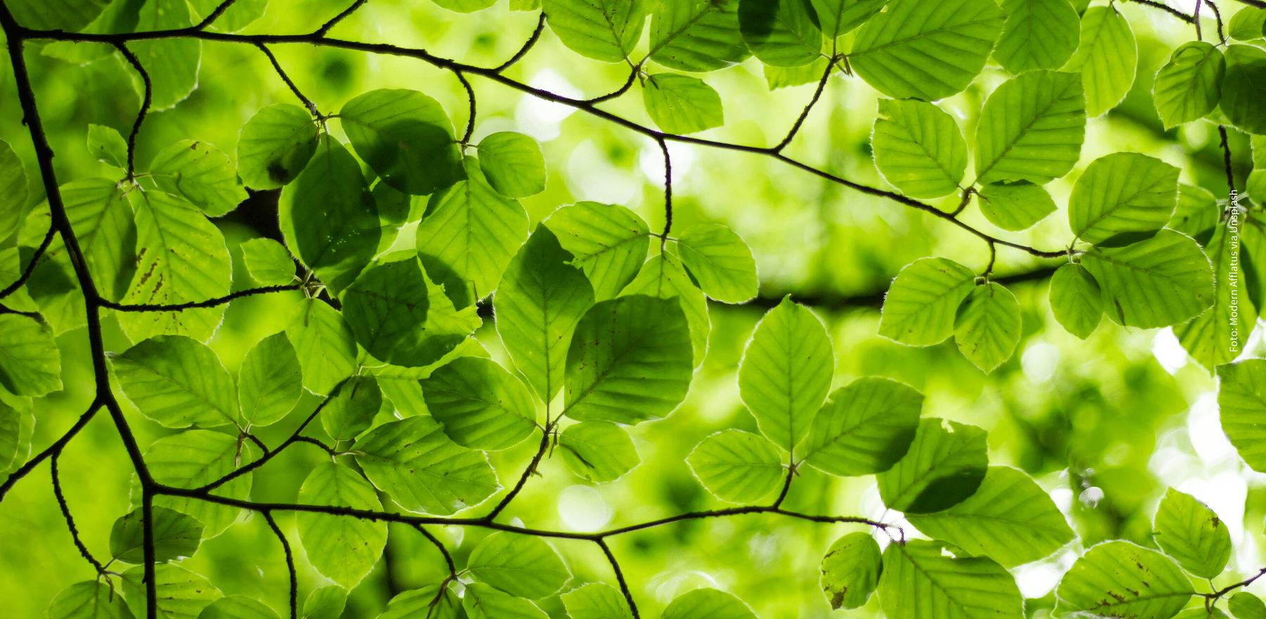 Junge Eschenblätter