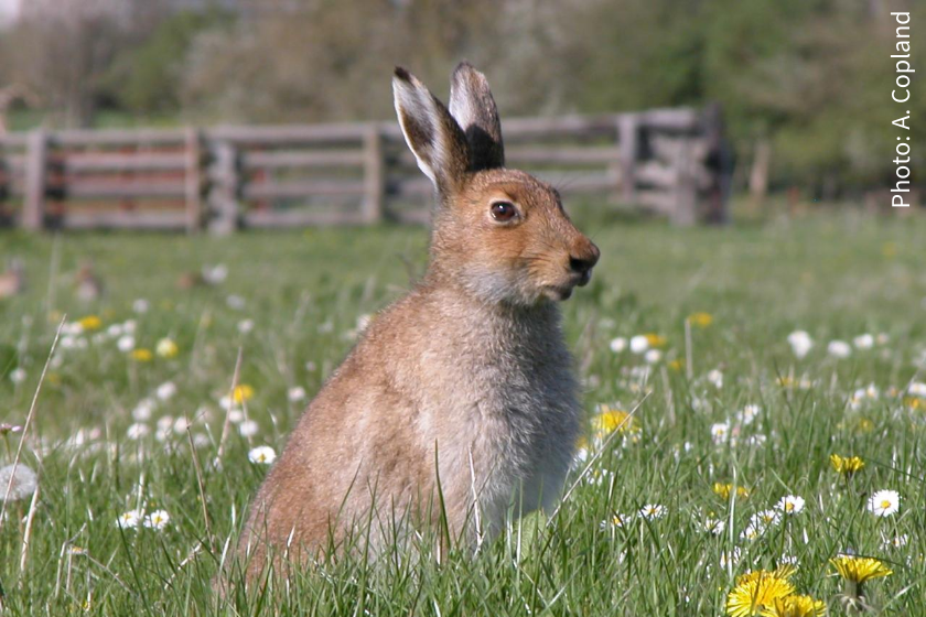 The Irish hare - beautiful and endangered