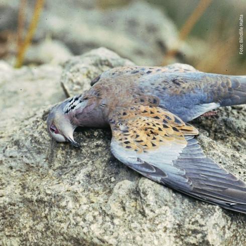 Tote Turteltaube auf Felsen