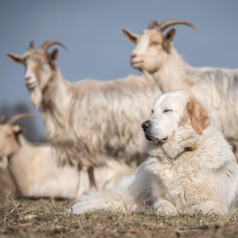 Ein Herdenschutzhund bewacht eine Ziege auf einer Weide