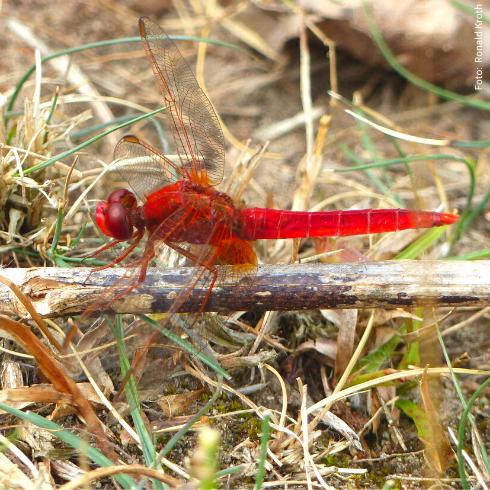 Auch seltene Libellen haben am Flughafensee eine Zuflucht gefunden