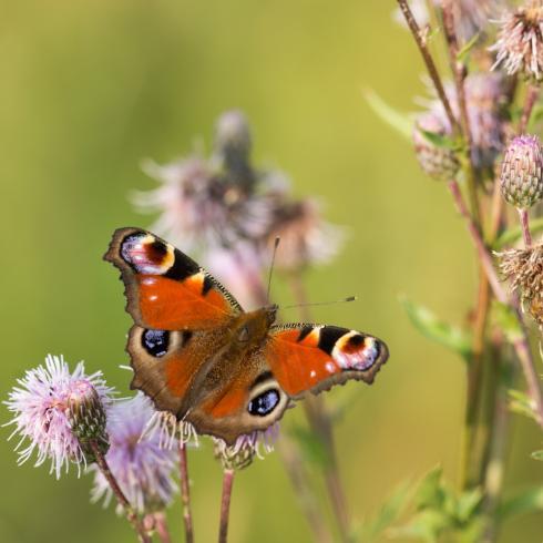 Tagpfauenauge - einer von vielen bedrohten Schmetterlingen