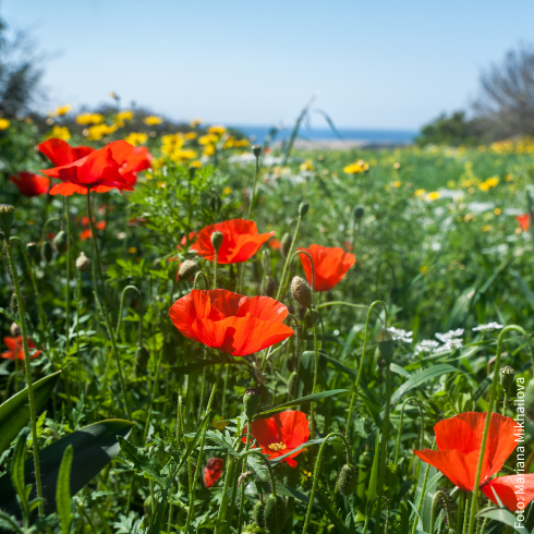 Poppies on a field in Cyprus