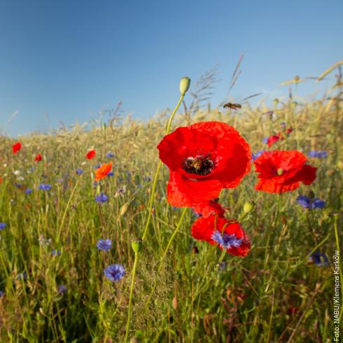Blühstreifen sind wichtig für Insekten und Vögel